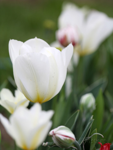 tulipani-bianchi